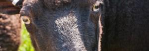 Småskalig fårskötsel
